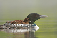 Common Loon, photo by Jeff Nadler