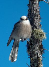 Gray Jay at Ferd's Bog